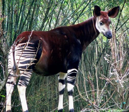 Okapi2.jpg